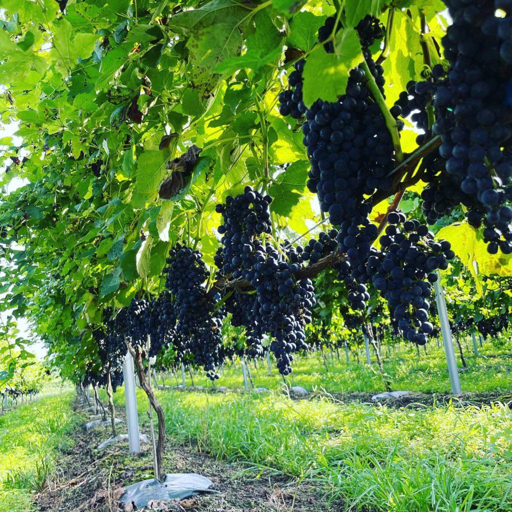 ワイン用葡萄「富士の夢」